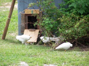 Some young Chanteclare Chickens running around