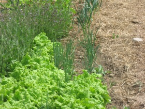 lettuce, green onions and sage