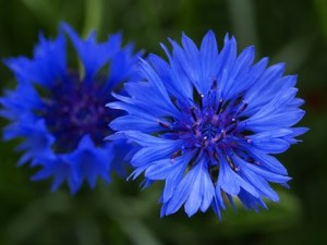 centaurea_cyanus_blue_boy