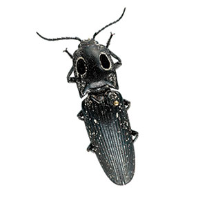insect_click_beetle_300