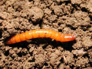 Wireworm lv MS